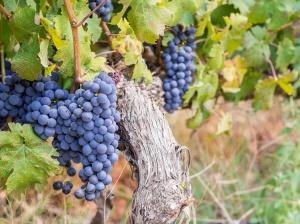 TheTravelClub_Zuid_Afrika_wijnrank
